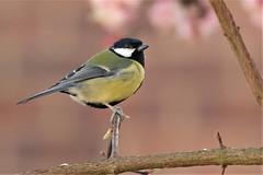 This is my best side (stellagrimsdale) Tags: greattit bird birdphotography branch tree birding yellow twig 7dwf fauna