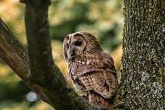 sitting pretty (jeff.white18) Tags: tawnyowl owl preditor birdofprey nature wildlife bird portrait nikon tree feathers flickr
