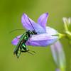 Oedémère noble-3407 (llo27) Tags: coléoptère faune insecte oedemeranobilis oedemeridés oedémèrenoble campanule insas pollinisateur vieuxchâteau