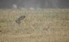 Looking for Insects (Explored #497) (FluvannaBirder754) Tags: easternmeadowlark meadowlark insect grass green fog hunting icterid virginia fluvanna fluvannacounty pleasantgrovepark birdwatching bird birding birder birds nature outdoor outdoors outside animal creature