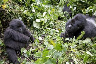 Gorilla Flirt