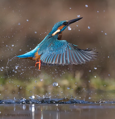 Male kingfisher without a catch. (adovision) Tags: kingfishers diving perched scottish photography hides