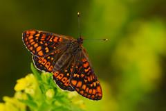 Euphydryas aurinia (13) (JoseDelgar) Tags: insecto mariposa euphydryasaurinia 425857288733115 josedelgar naturethroughthelens coth alittlebeauty coth5 fantasticnature ngc npc