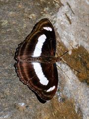 Small Staff Sergeant (chaz jackson) Tags: smallstaffsergeant athymazeroca nymphalidae limentidinae butterfly insect staff sergeant macro thailand