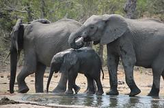 There is 3 of Us - elephants  /  olifante (Pixi2011) Tags: elephants nature wildlife big5 krugernationalpark africa