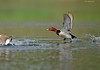 Common Pochard in Action.... (Anirban Sinha 80) Tags: nikon d610 fx 500mm f4 ed vrii n g bokeh duck migratory wetland natural wings take off