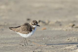 Lesser Sand Plover Charadrius mongolus Goa India b
