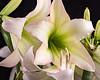 Amaryllis (John C. House) Tags: everydaymiracles nik amaryllis nikon closeup johnchouse tennessee macro flowersmacro d810 depthoffieldstacking heliconfocus