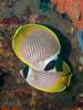 Chaetodon adiergastos (PacificKlaus) Tags: philippines scuba diving underwater ocean nature negrosisland dauin salayabeachhouses chaetodonadiergastos butterflyfish
