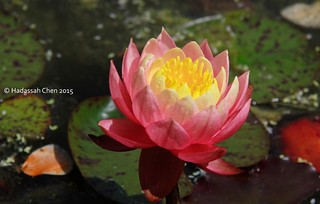 Nymphaea cultivars (Waterlily)