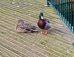 Protecting his lady! 😊 (LeanneHall3 :-)) Tags: mallards couple birds feathers eastpark green brown lake hull kingstonuponhull landscape samsung galaxys7edge