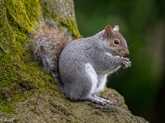 Grey Squirrel up a tree (burnleybornandbred) Tags: grey squirrel bokeh england victoria park uk nature leica dg 100400 panasonic wildlife tree branches g9 animal leicadg100400 greysquirrel panasonicg9 treebranches victoriapark