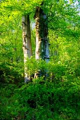Dorodne buki 66 (Hejma (+/- 5400 faves and 1,7 milion views)) Tags: drzewa zewnętrzne licie krzewy