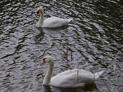 549-28L (Lozarithm) Tags: chippenham kx rivers riveravon swans sigma 70300 sigmaaf70300mmf456apodgmacro