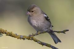 _SEN6510-E (Sento74) Tags: pinzónvulgar fringillacoelebs aves birds nikond500 tamron150600g2 fauna