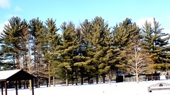 a bunch of evergreens (search4agape1) Tags: trees snow park