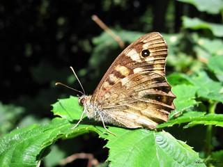 Butterfly 1611