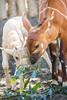 Baby Addax and Bongo Antelope (ToddLahman) Tags: baby bongoantelope beautiful mammal animalcarecenter outdoors sandiegozoosafaripark safaripark canon7dmkii canon canon100400 closeup addax