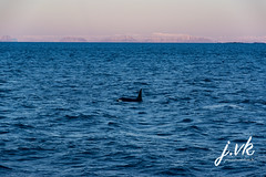 Iceland Killer whale (jornvk) Tags: iceland killerwhale snæfellsnes winter ice view sea ocean sky water mountain whale cold