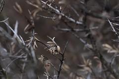 hiver (bulbocode909) Tags: valais suisse hiver plantes nature montagnes