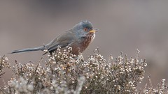 Dartford Warbler (KHR Images) Tags: dartfordwarbler dartford warbler sylviaundata wild bird warblers dunwichheath suffolk heather wildlife nature nikon d500 kevinrobson khrimages