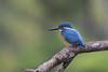 Common Kingfisher (RoosterMan64) Tags: bird eurasiakingfisher nature srilanka wildlife kingfisher