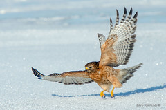 Attack mode. (Earl Reinink) Tags: bird raptor predator owl hawk winter snow earl reinink earlreinink nature birdphotography redshoulderedhawk hzhdtdadha animal