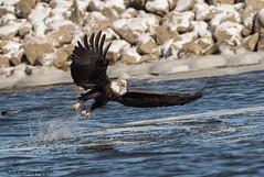 Bald Eagle fishing. (Estrada77) Tags: baldeagle fishing ld14 nikond500200500mm wildlife jan2018 raptors distinguishedraptors birding birdsofprey