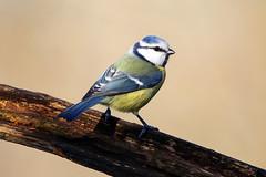 Cinciarella (MaOrI1563) Tags: parcodellapianadisestofiorentino parcodellapiana sestofiorentino firenze fauna cacciafotografica uccelli oasi poderelaquerciola cinciarella