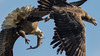 Looking at the Fish Go (Ken Krach Photography) Tags: eagle