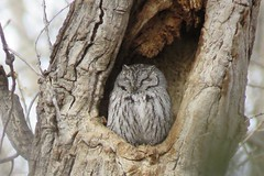 Western Screech Owl (Patricia Henschen) Tags: owl screech western westernscreechowl canoncitycolorado canoncity colorado riverwalk arkansasriver park usroute50 johngriffinpark bird