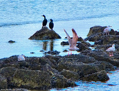 Scotland Greenock Cormorants and Seagulls 25 January 2018 by Anne MacKay (Anne MacKay images of interest & wonder) Tags: scotland greenock cormorant seagull seabird rocks sea xs1 25 january 2018 picture by anne mackay