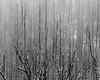 Snow and Dead Trees, Mariposa County, CA (4 Corners Photo) Tags: 4cornersphoto blackandwhite california dead fog landscape mariposacounty monochrome mountains nature northamerica outdoor rural scenery sierranevada snow storm tree unitedstates vegetation weather winter yosemite yosemitenationalpark us