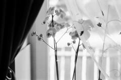 high key orchid (brenkee) Tags: filmcamera film analog filmisnotdead buyfilmnotmegapixels staybrokeshootfilm blackandwhite blackandwhitephotography blackandwhitefilm ilford analogcamera filmisalive filmcommunity filmphotography ishootfilm analogue analoguephotography thefilmcommunity autumn itsfilmisntit monochrome high key orchid window zorki jupiter ussr rangefinder rf 50mm poormansleica