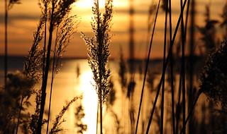 tall grasses sunlit