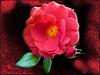 Moody Rose (Koko Nut, it's all about the frame) Tags: hotcocoa rose red bloom black beauty frame flower framedflower bud romance valentine koko kokonut wonder