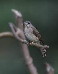 Brown-breasted Flycatcher (Koshyk) Tags: flycatcher brownbreastedflycatcher salimalibirdsanctuary ernakulam birdwatcher nikon nikond4s nikkor500mm