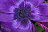 Mauve Velvet (fs999) Tags: 100iso fs999 fschneider aficionados zinzins pentaxist pentaxian pentax k1 pentaxk1 fullframe justpentax flickrlovers ashotadayorso topqualityimage topqualityimageonly artcafe pentaxart corel paintshop paintshoppro 2018ultimate paintshoppro2018ultimate masterphotos fleur flower blume bloem macrolife macro makro tamronspafdi90mmf28macro tamron sp af di 90mm macrolens 11 metzflash52af1digital metz flash metz52af1 ray rayflash universal l adaptateur annulaire ring adapter