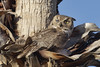 Mother Owl  with her chick 12 (Largeguy1) Tags: approved mother owl with her chick macro bird canon 5d mark ii