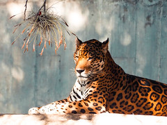 wild (domdancers) Tags: wild leon great pic photo natural nature memorial new art 12mm tiger animal tigre