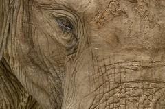 Close-up... (lyn.f) Tags: elephant loxodontaafricana mikuminationalpark tanzania worldsbestnikonshots