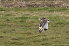 Short Eared Owl-7185 (WendyCoops224) Tags: winterwatch 100400mml 80d fens canon eos ©wendycooper asio flammeus short eared owl
