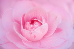 eden (christophe.laigle) Tags: rose christophelaigle fleur macro camelia flower fuji camellia pink xpro2 xf60mm nature