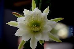 Quinta-flower (sonia furtado) Tags: quintaflower flor flower flordemandacaru cacto fazendarainhadapedra cuité pb ne brasil brazil soniafurtado