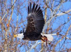Let's go to lunch, my treat...heh heh (David Sebben) Tags: bald eagle raptor nature fish mississippi river davenport iowa