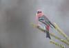 Pine Grosbeak (Joe Branco) Tags: nature lightroomcc2016 photoshopcc2018 ontario canada branco joe birds wildlife wildlifephotography joebrancophotography pinegrosbeak green