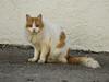 P1230058 (Jose Luque 91) Tags: gato callejero calle pelazo pelo largo blanco marron felino 2018