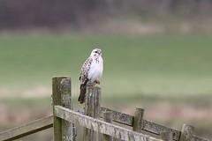 record shot: White buzzard looking more like a Gyrfalcon (Cosper Wosper) Tags: pale buzzard greylake white
