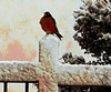 Snow Robin (TwinLotus II) Tags: painnt christmascard coolpix coolpix500