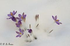 Sous la neige Le PRINTEMPS (letexierpatrick) Tags: neige fleur fleurs floraison flowers flower france crocus couleur couleurs colors printemps spring nature nikon nikond7000